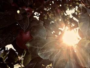 světlo_jablka